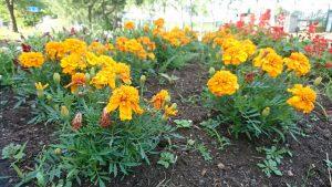 午前7時 駒場公園の花壇