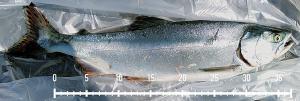 オホーツク海でマス釣り