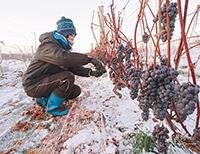 昨年12月、しばれわいん用ブドウの収穫作業の様子