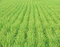 順調な生育を見せる水稲