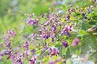 見ごろ迎えたヤマハギの花