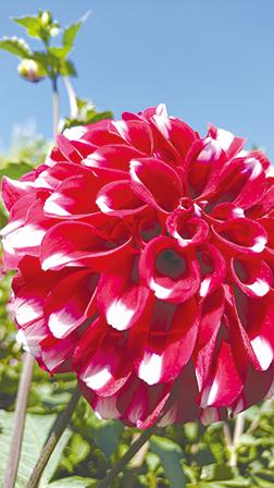 作品名『ダリア』北見市・にゃんこママさん 実家に咲いていたダリアがとてもきれいだったので撮りました。