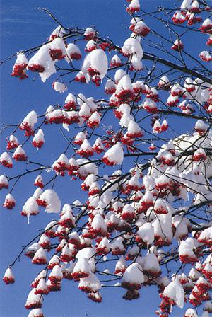作品名『ナナカマドの雪化粧』北見市留辺蘂町・男性 青空のもと、真っ赤なナナカマドの上に新雪が積もったところをシャッターにおさめました。