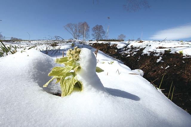 作品名『戸惑いの春』北見市・男性 ようやく顔を見せたフキノトウも季節を逆戻りさせるかのような雪に戸惑っているようでした。