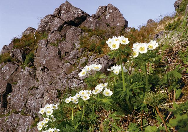 作品名『白山イチゲ(ハクサンイチゲ)』美幌町・男性 藻琴の山に「白山イチゲ」が咲いた。登山道を登る人下る人の癒しの花である。高山植物の中では比較的大柄な花で、人目をひきつける魅力的な花である。山岳写真などで取り入れられる代表的なキンポウゲ科の花で、風に揺れる様は岳人憧れの風景である。