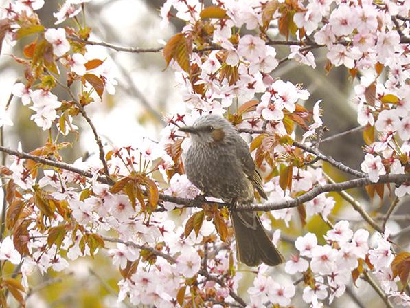 作品名『ヒヨドリ』網走市・tsutomuさん今年カメラデビューをしました。初心者ですが、桜をバックに撮りたかった1枚が撮れたのでうれしい限りでした。
