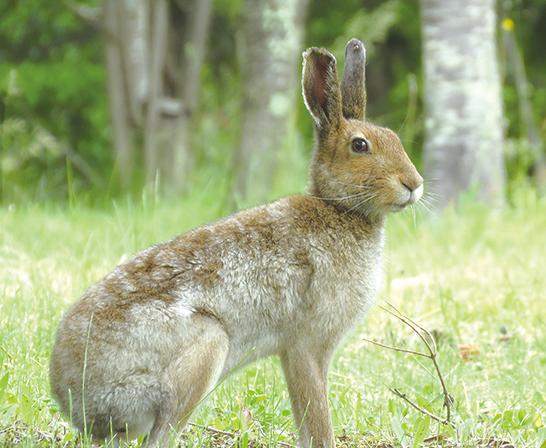 作品名『眠くないもん』北見市・バターナイフエゾユキウサギの一家がひなたぼっこ。この子だけ元気に走り回っていました。6月の写真なので毛が「衣替え」の途中ですね。