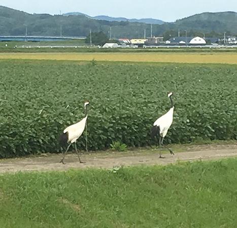 作品名『優雅にお散歩』大空町・にゃんころもち 女満別の国道沿いの畑で丹頂鶴の親子がお散歩中でした。女満別ではなかなか見られないので新鮮でした。
