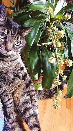 作品名『花開いた幸福の木とぼく』のらねぃさん ぼく(マチャル・16歳)のうちの幸福の木に花が咲いたよ!お母さんに聞いたら、30年の間に4回目の開花なんだって。