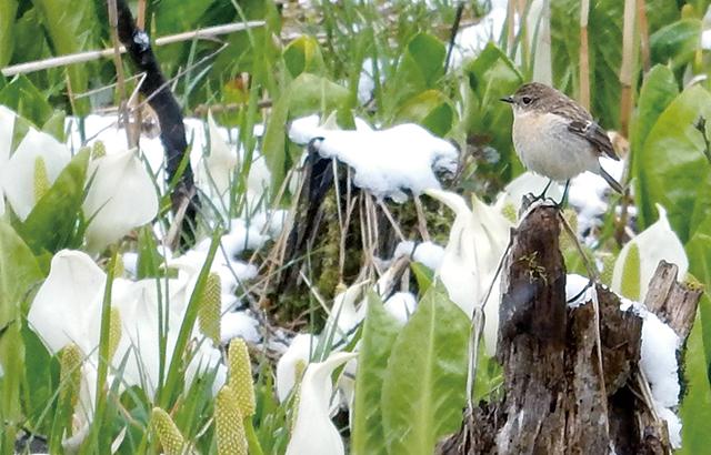 作品名『水芭蕉と野鳥』北見市・ナッカ 連休初日、オホーツク管内は雪が降りましたが、網走市呼人の遊歩道では水芭蕉が咲き誇っていました。野鳥のさえずりが盛んに聞こえ、水芭蕉の周りを元気に飛び回る姿がありました。野鳥を判別するのは難しく、コサメビタキのように思いますが、自信はありません。
