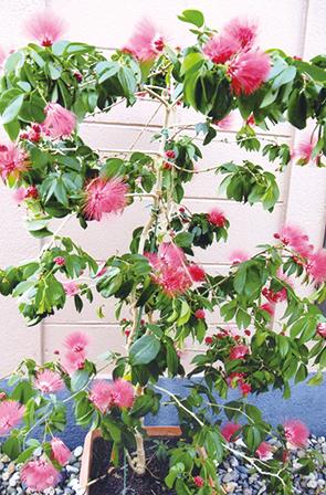 作品名『ネムの木に花』北見市・男性 家で10年以上も育てているネムの木の花が、今年はたくさん咲きました。
