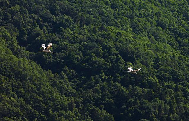 作品名『タンチョウ、西へ』北見市・男性 6月3日、仕事先に向かう途中の北見市東相内町の農地にタンチョウ2羽がいました。アオサギだと思っていたので、びっくりしました。やがて西の方角へと飛び立って行きました。