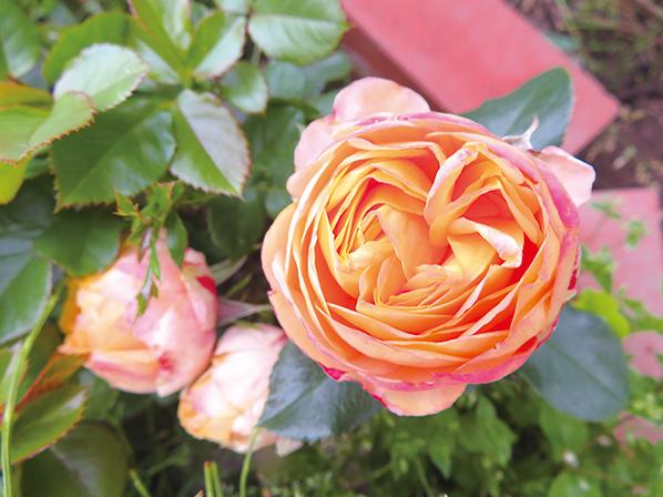 作品名『庭のバラが咲きました』北見市・ヤマアジサイ 庭仕事の合間、玄関前に置いている椅子に座ってのんびりしていると、どこからか、お寺の鐘の音が…。鐘の音が耳に入ってくると、自然にまぶたが閉じ、聴き入って、ざわめいていた心が清々しくなりました。