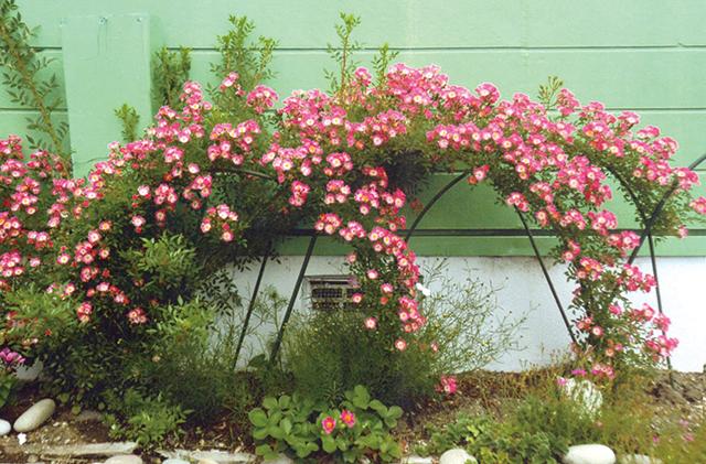作品名『つるバラ見事に咲きました』北見市・女性 10年ほど前に母の日にもらったつるバラ。数年前までは小さかったバラも、今年は南向きの壁に沿って見事に咲きました。緑色の壁に映え、通行する人達の目を引いています。