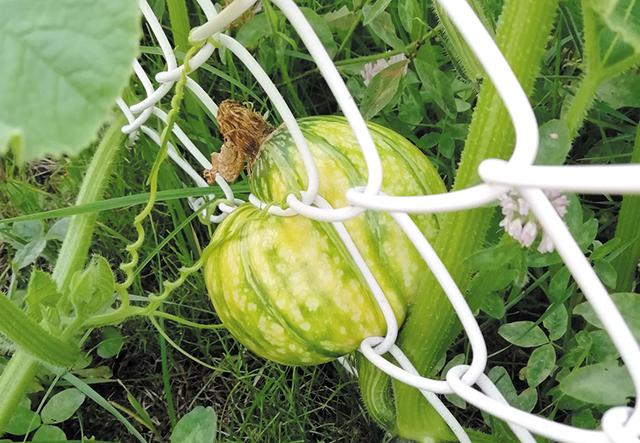 作品名『フェンスの間で育ったひねくれカボチャ』北見市・とん田トン子 フェンスの間に挟まっている「ひねくれカボチャ」を北見市とん田児童センターの菜園で見つけました。トマトやキュウリ、キャベツなども育てていますが、フェンスに挟まっているのはカボチャだけ。どうやって収穫しようか考え中です。