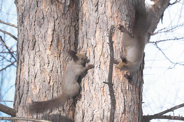 作品名『追いかけっこ』北見市、えだまめ大きな木で鉢合わせた2匹のエゾリス。エサの取り合いをしているのか、追いかけっこを始めました。今年1月下旬に野付牛公園で撮影しました。