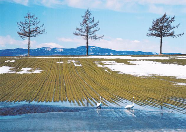 作品名『雪どけのころ』網走市・男性 大空町女満別で撮影。例年にない少雪と暖かさで雪どけが一気に進み、麦畑が顔を出した。それを待っていたかのようにオオハクチョウが麦のご馳走をついばんでいた。