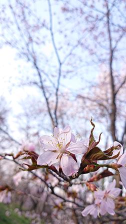 作品名『金刀比羅山の桜』北見市・にゃんこウサママ ゴールデンウイーク後半、外出自粛期間中でしたがドライブスルーで桜が見られる北見の金刀比羅さくら公園へ。行った時はまだ5分咲きでしたが、とてもきれいでした。