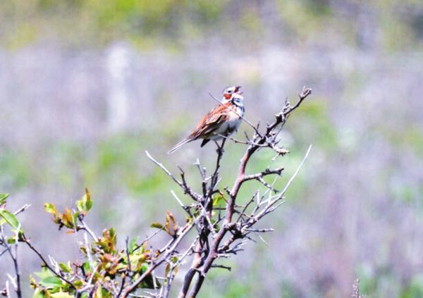 作品名『ワッカに響く声』北見市、K・Sさん 5月末に北見のワッカ原生花園で撮影した「ホオアカ」です。枝先に止まり、鳴く様子をたくさん観察することができました。ヒバリやノゴマも見ることができました。