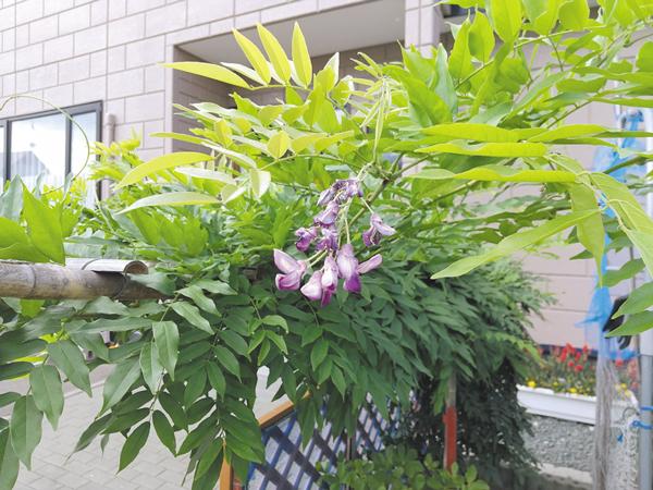 作品名『癒される藤の花一房』北見市・M.A. 生い茂る葉の中に、季節外れに咲いた一房の藤の花。猛暑の中、夏を彩る花々と競うかのような可憐さに癒され、暑さを忘れてしまいそうでした。