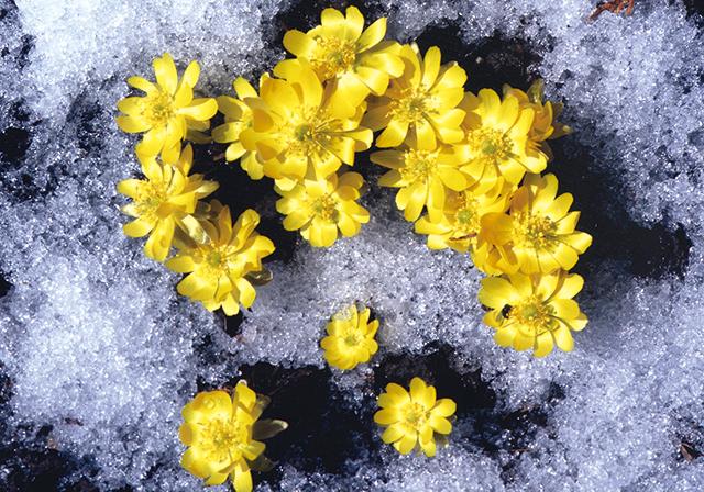 作品名『福寿草』北見市・新庄友行 我が家の自慢できる春の花です。毎年4月に咲き、見るのを楽しみにしています。