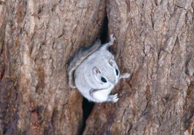 作品名『森の妖精』ひよこまめ 網走の「こまば木の広場」にいる、エゾモモンガです。自宅近くにこんな可愛い子が♪