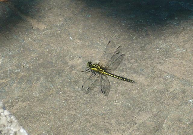 作品名『春から夏へ』北見市・男性 こんな時期にトンボが飛ぶんだな〜と思っていたら、6月上旬ごろから見られる「モイワサナエ」という種類でした。自宅の庭石で、暑くなるのを待っているかのように見えました。